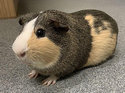 Ginny Pig at the Vet